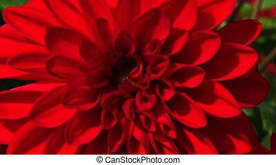 Red Peony. botany, bud flower