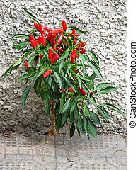 Red Pepper Bush - Bush of red pepper growing on a grey house...