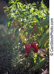 Red pepper in garden
