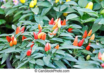 Red pepper in the garden.