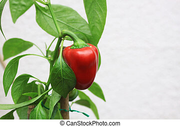 Red Pepper Plant
