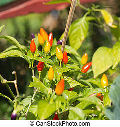 Red peppers growing in the garden