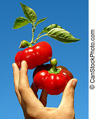 red peppers in hand