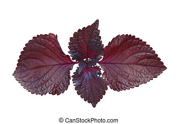 Red Perilla Mint - Red perilla mint isolated on white...