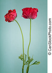 Red persian buttercup bouquet on a light blue background