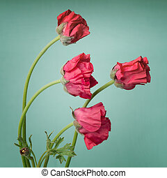 Red persian buttercup flowers on a retro light blue background