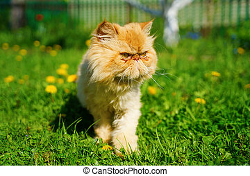 Red persian cat in the green grass.