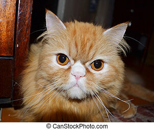 Red persian cat - Red beatiful persian cat closeup. Little...
