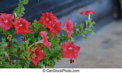 Red petunia in the garden