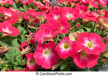 red petunias in flowerbed