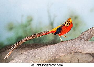Red Pheasant