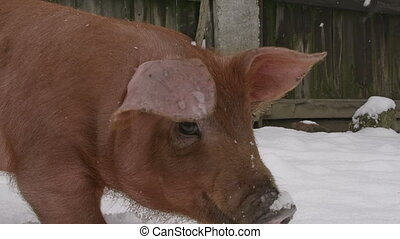 Red pig in the snow. - Red pig in a backyard, digging in the...