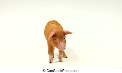 pig - red  pig on a white background.  sound