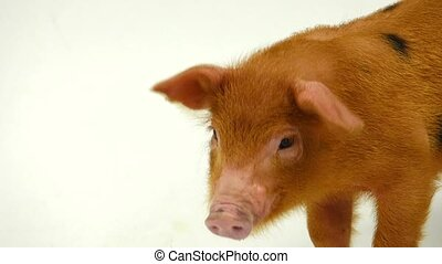 red  pig on a white background. sound