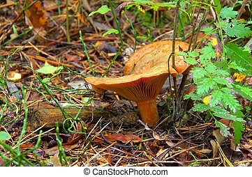 Red pine mushroom