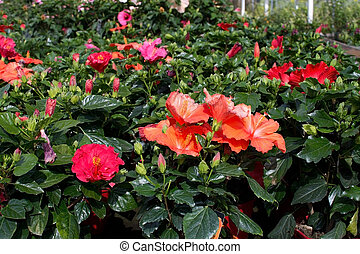 Red pink hibiscus flowers