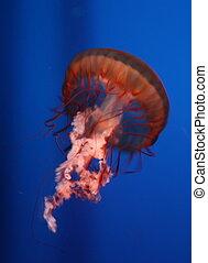 Red-pink jellyfish in an aquarium t