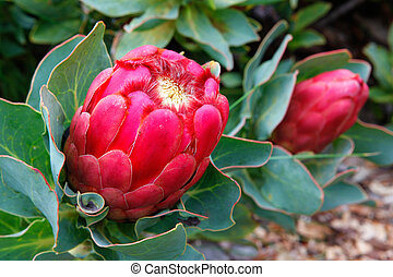 Red pink protea