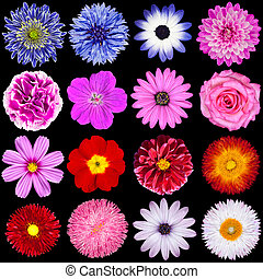 Red, Pink, Purple, Blue and White Flowers Isolated on Black