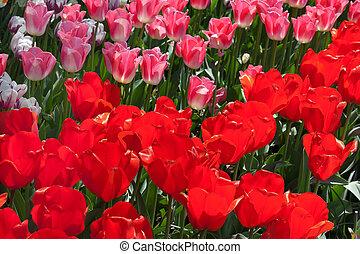 Red Pink Tulips Flowers Skagit Valley Washington State
