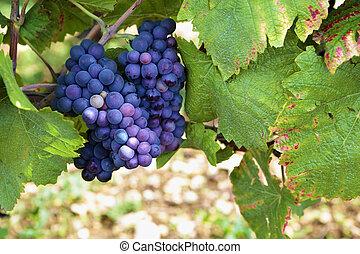 Red pinot noir red wine grapes Burgundy vineyard France.