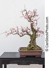 Red plum bonsai tree againt white wall