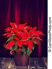 Red Poinsettia, Christmas Star flower, in a pot