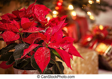 Red Poinsettia flower, Christmas Star