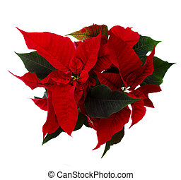red poinsettia flower -  christmas star