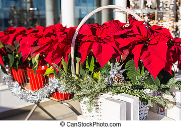 Red poinsettia flower in pot, traditional Christmas decoration.