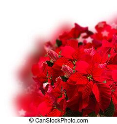 red poinsettia flower or christmas star