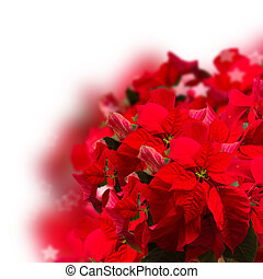 red poinsettia flower or christmas star