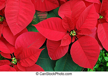 Red poinsettia flowers - Close up of red poinsettia...