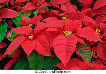 Red poinsettia flowers closeup - Close up of red poinsettia...