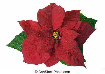Red poinsettia isolated on white
