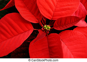 Red poinsettia - Closeup of red poinsettia, background