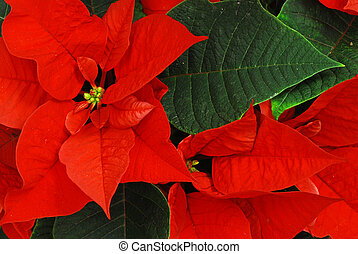 Red Poinsettia with green leaves - christmas flower