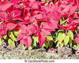Red poinsettias in a garden