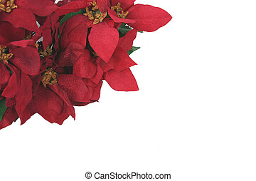 Red Poinsettias - red poinsettias on white background with...