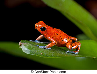 red poison dart frog Costa Rica