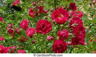 Red polyantha rose bush 4k