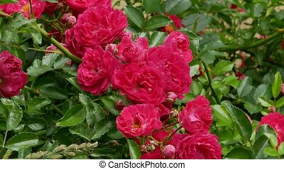 Red polyantha rose bush 4k