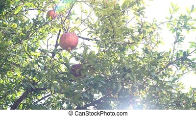 red pomegranates during harvest