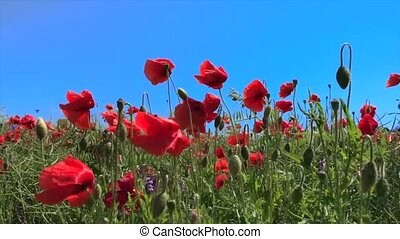 Red poppies against the blue sky