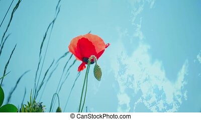 Red Poppies and sky. Wildflower in the meadow