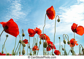 Red poppies - Beautiful red poppies on the blue sky ...