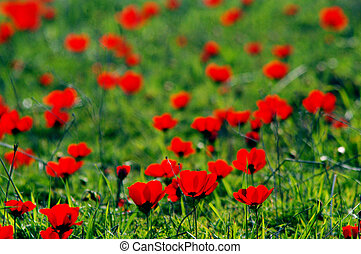 Red poppies bloom in the wild field during spring season.