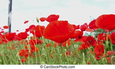 Red poppies. - Close up field of moving blossoming poppies...
