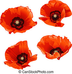Red poppies - Set of red poppies isolated on white...