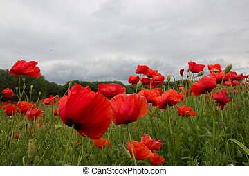 Red poppies field on cloudy day